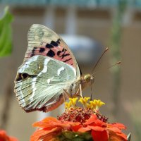 Бабочка :: Nastya Franz