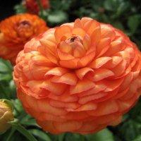 Ranunculus :: laana laadas