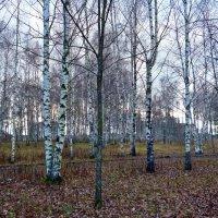 Предзимний лес :: Елена Федотова
