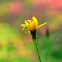 Одинокий осенний цветок... :: Андрей Вестмит