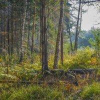 Утро в осеннем лесу :: Михаил (Skipper A.M.)