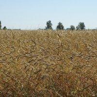 Хлебное поле #3 :: Виктор Четошников