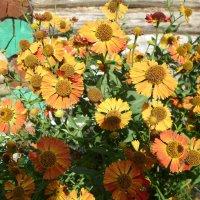 Осенние цветы у баньки... :: BoxerMak Mak