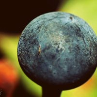 Планета винограда :: Viktoria Rosenthal