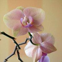 Королева благоуханных растений :: Сергей Карачин