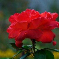 Одинокая роза :: Владимир Грачев