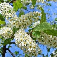 Черемуха в цвету :: Лидия (naum.lidiya)