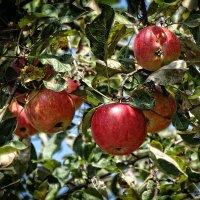 В саду  у дяди Миши созрели не только вишни... :: Владимир Бровко