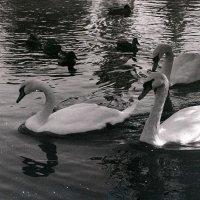 Лебединая верность -2 :: Владимир Бровко