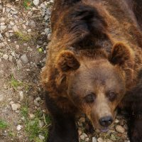 бурый медведь :: Валентина Папилова