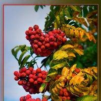 Алые гроздья рябины. :: Горбушина Нина