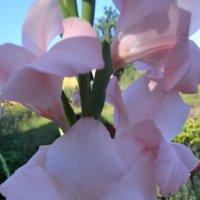 Розовый гладиолус. :: zoja