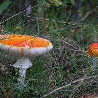 Несъедобные грибочки... :: Олег Козлов