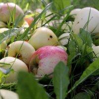 А яблоки со смаком падают... :: Татьяна Ломтева