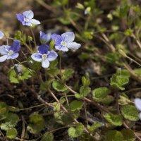Цветы :: Ирина Корнеева