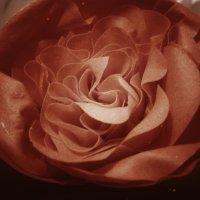 Роза :: Анна Быстрова