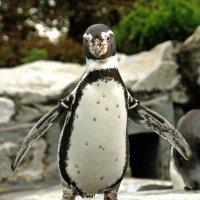 Топ топ топает пингвин :: Alexander Andronik