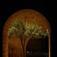 Оливковое дерево. Иерусалим, старый город. :: Зоя Ципельштейн