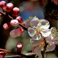 Миндаль цветет :: Ольга Голубева