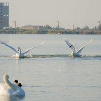 Лебеди :: Сергей Солдатов