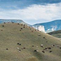 Горные коровы :: Дмитрий Марков