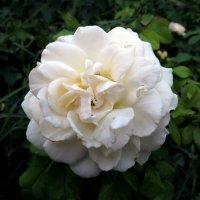 Востребованный цветок :: Наталья Джикидзе (Берёзина)