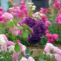 Фиолетовые розы :: Наталья (Nattina) ...