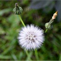 Солнцем теплым напоён одуван сентябрьский,,,, :: galina tihonova