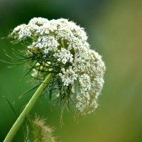 цветок моркови :: Мария Чуева