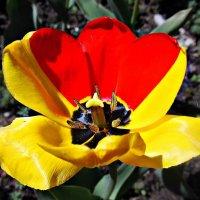 Странный тюльпан :: Полина