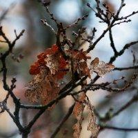 ветка дуба . осень :: Svetlana AS