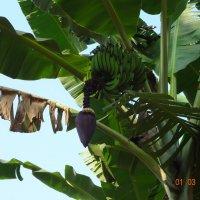 бананы :: napastak napastak