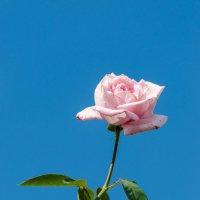 Роза на фоне неба :: Геннадий Хоркин