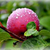 Райское яблочко :: galina tihonova