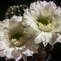 И опять о кактусах. Близнецы. :: Сергей