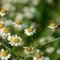 Пчела :: dimi777 Умлев
