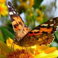 Бабочка-красавица в ярком цветном платьице :: Tanya Sukhomlinova