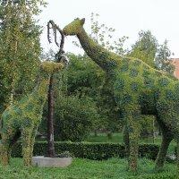 Жирафы :: GALINA