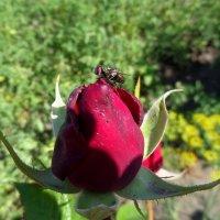 Муха тоже любит цветы... :: Сергей Петров