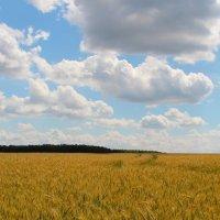 Красота пшеничных полей. :: Маргарита ( Марта ) Дрожжина