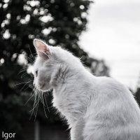 белая кошка :: игорь душкин