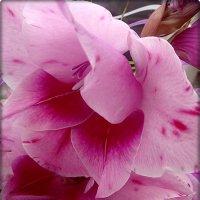 На стыке лета с осенью цветёт красавец благородный – гладиолус :: Нина Корешкова