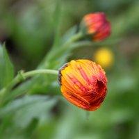 Он цветет, обреченный судьбой... :: Надежда Млат