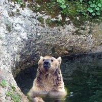 Медвежья фотосессия (Мишка на югах -2). Первое знакомство. :: Vladimir 070549