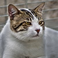 Портрет по заказу3-из серии кошки очарование моё! :: Shmual Hava Retro