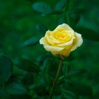 Осенняя роза :: Владимир Кроливец
