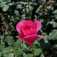 Просто роза. Просто осень. Просто тёплый день. :: Ирина Сивовол