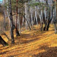 Осенний пожар полыхает в лесу... :: Галина Стрельченя