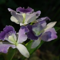 Орхидея дендробиум :: Елена Павлова (Смолова)