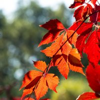 красные листья :: Анатолий Корнейчук